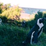 drei Pinguine im Gras; bearbeitet